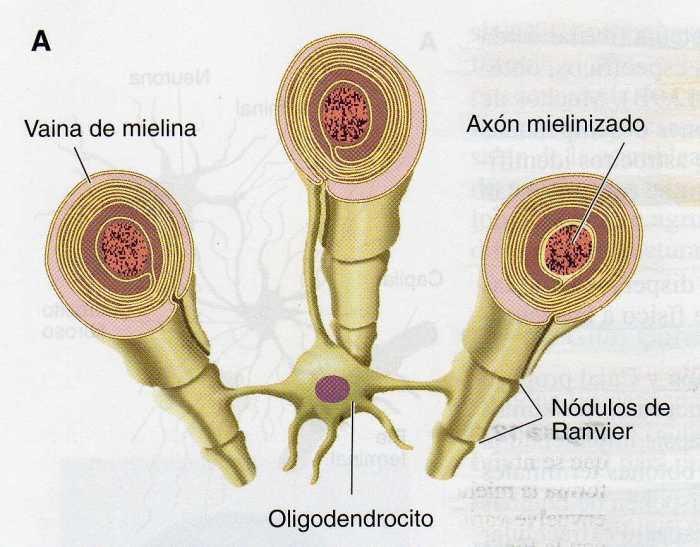 oligodendrocito-1
