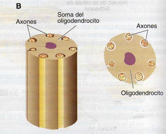 oligodendrocito-2