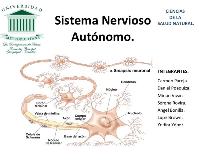 presentacin-sistema-nervioso-autnomo-1223750530556960-9-thumbnail-4