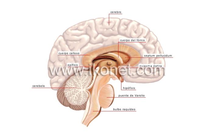 sistema-nervioso-central-103990