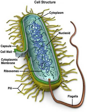 bacteria_cell